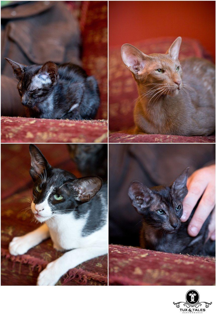 Cinnamon oriental cat, bioloured oriental cat, smoke coloured oriental