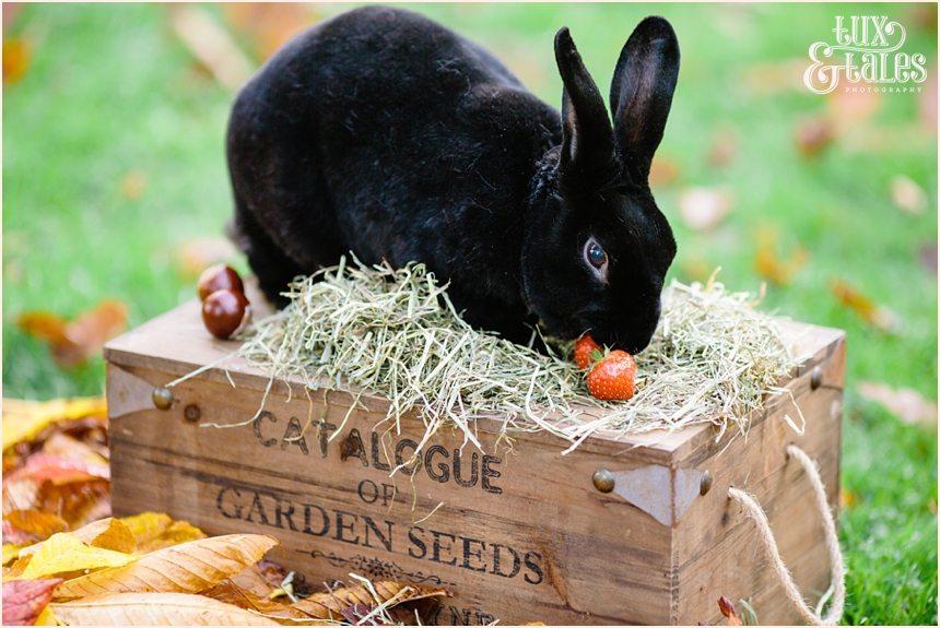 Black rex rabbit at engagement shoot in York
