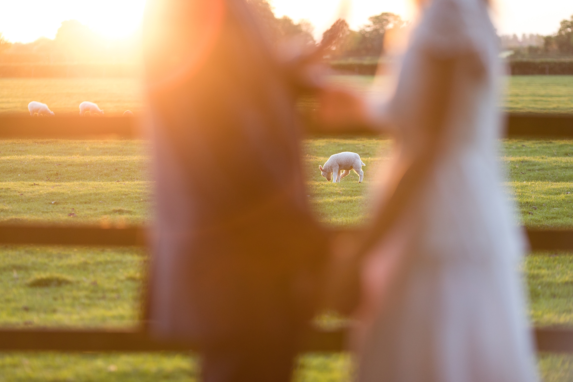 Sheep in background behind wedding couple