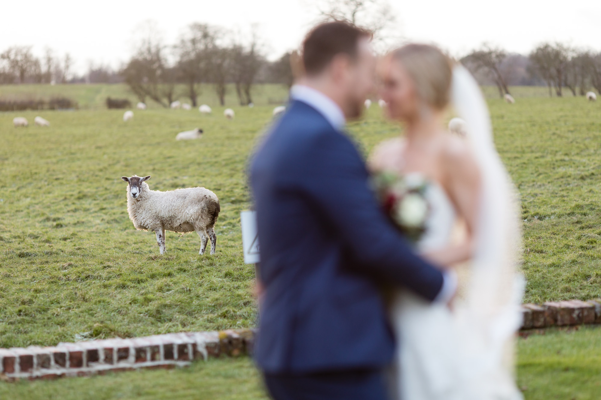 York Wedding Photography at Hornington Manor Farm Sheep looks on as couple kiss and cuddle